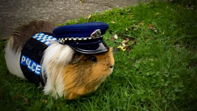 A guinea pig in New Zealand is keeping drivers — and kids — safe