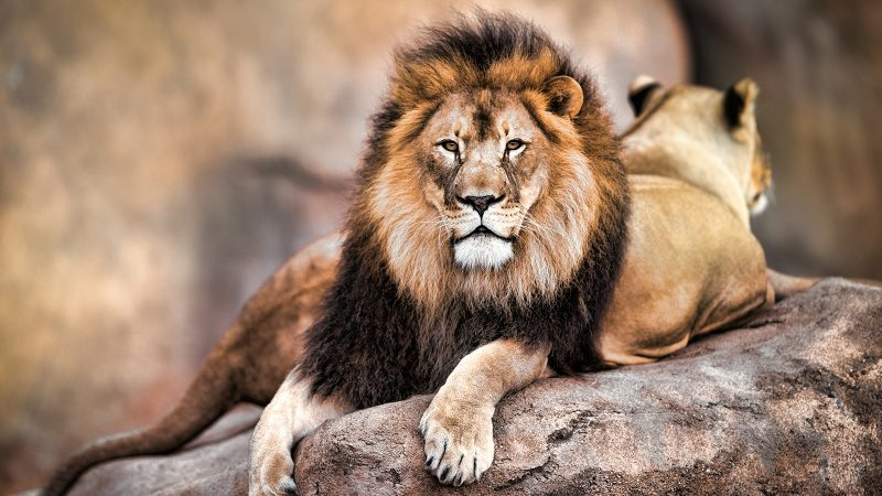 Why acting like a lion will help you win at work — and why no one should want to be a goat
