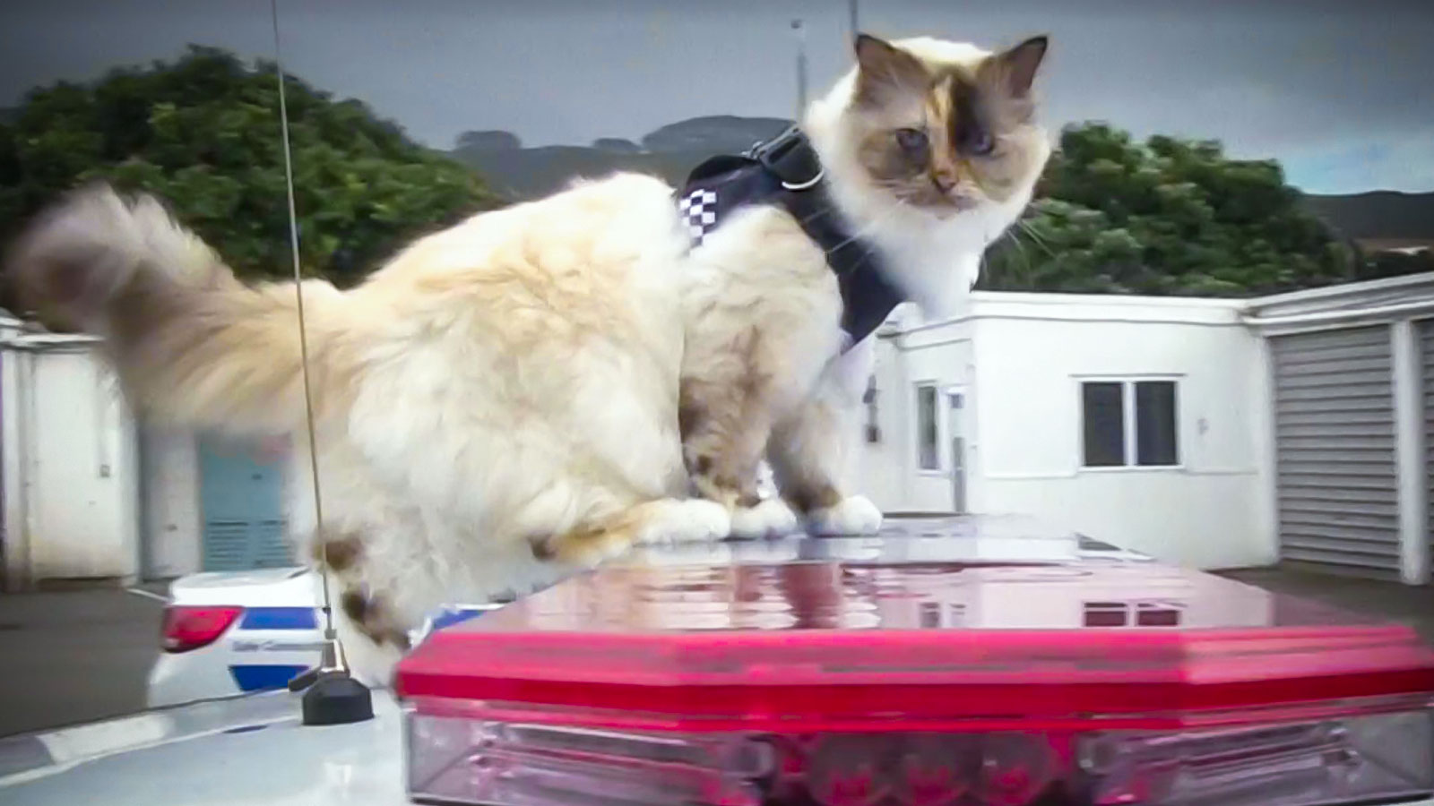 The newest cat on the New Zealand Police force will charm you