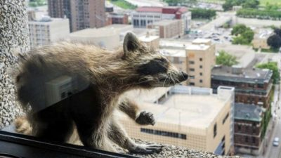 Office building-climbing raccoon shows us the meaning of perseverance